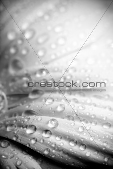 rain on petals bw abstract