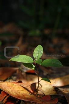 Forest Seedling