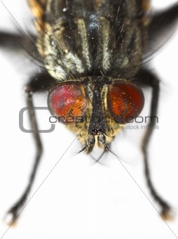 Ugly fly