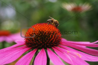 Working bee on flower
