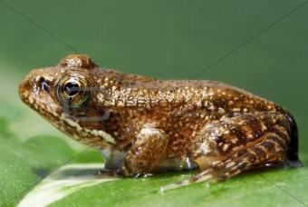 Ting frog