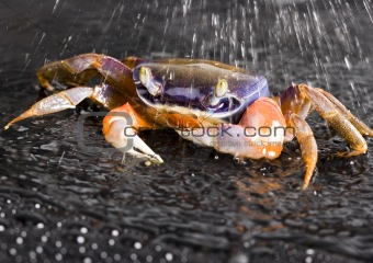 Crab in the rain