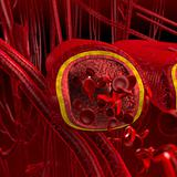 Blood arteries and veins cut section