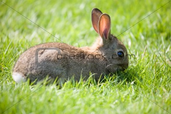 Little bunny grazing