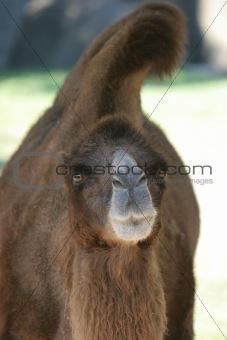 Camel at eye level
