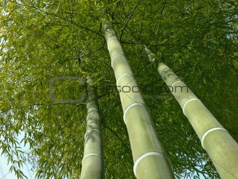 bamboo trees look up