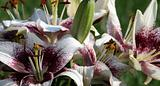 Asiatic Lilly Group