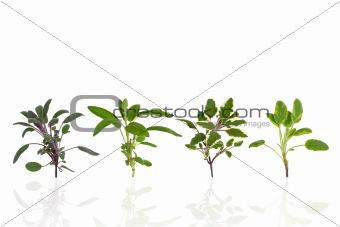 Herb Sage Leaf Variety