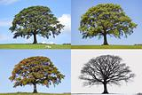 Oak Tree Four Seasons