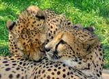 loving cheetahs