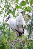 Asian Openbill Stork