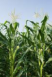 corn field