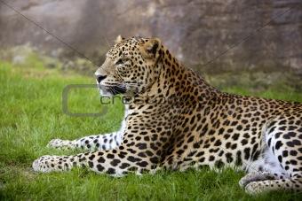 African leopard on green grass