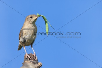 House Wren On A Stump With A Praying Mantis