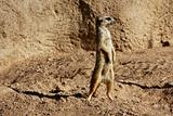 Madagascar Suricata on a clay landscape