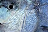 Denton, Mediterranean sparus fish, gilthead, snapper