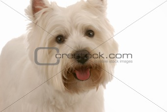 happy west highland white terrier