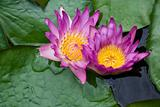 Two violet lilies Nymphaea on the water surface