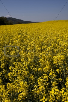 Yellow canola fields