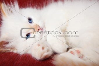Kitten purring