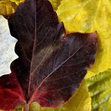 Leaves still of autumn leaves, dark wood background, fall classic images