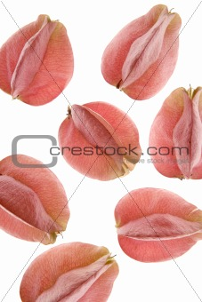 Autumn pink flowers, white transparent studio background