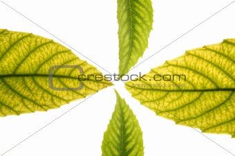 Green leaves in vibrant green, medlar, ceiba, white studio background