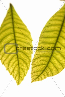 Green leaves in vibrant green, medlar, white studio background