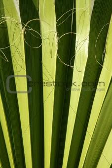 Palm leaf detail with curling fiber