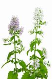 Flowering Catnip Plant, Nepeta cataria