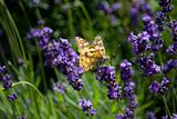 Butterfly on a lavender plant