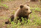 Cute little brown bear cub