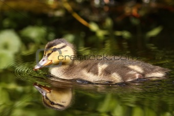 Little duckling swimming in the water