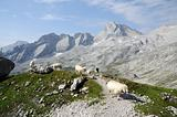 Alpine landscape with grazing sheep