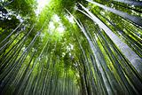 Bamboo forest 01