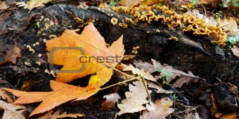 Autumn leaves and fungi