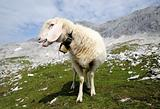 Sheep in the alpine mountains