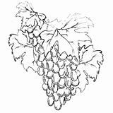 Grape, vector
