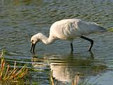 eurasian spoonbill