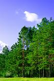 pine forest and blue sky