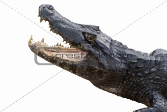 Alligator Isolated on White
