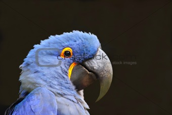 Blue Macaw (Parrot)