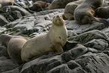 South American fur seal (Arctocephalus australis)