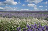 Field of various types of Lavender from white to deep purple