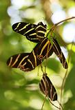 Roosting Butterflies