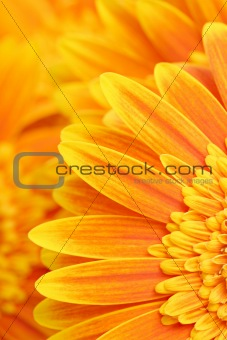 daisy petals background