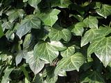 Green ivy -hedera helix - growing wild