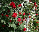 Red Rose Trellis