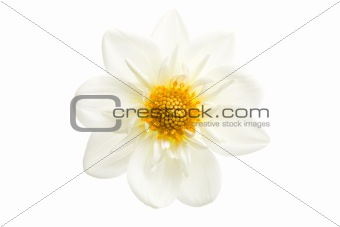dahlia closeup isolated
