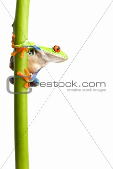 frog on plant stem isolated